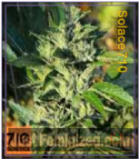 710 Genetics Solace Cannabis Seeds Marijuana Strain
